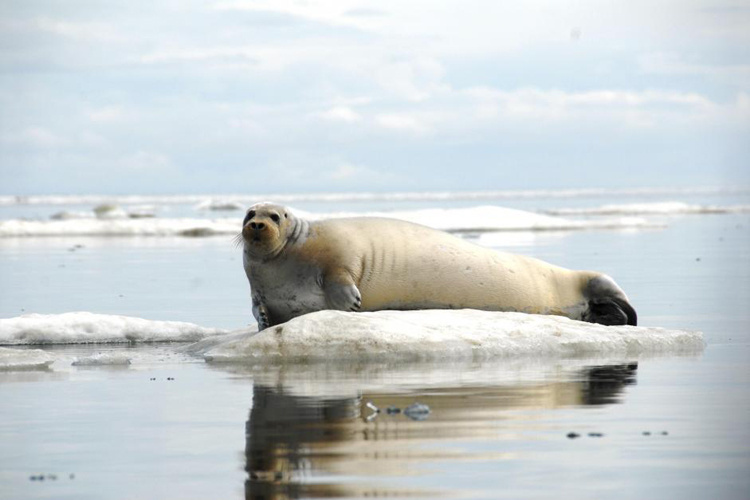 Bearded seal hauled out on sea ice.