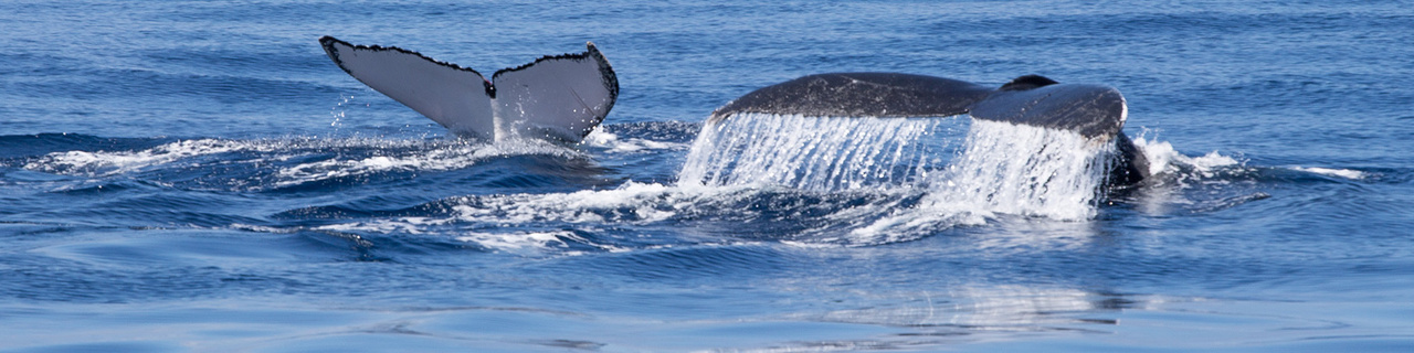 Humpback whale tails.