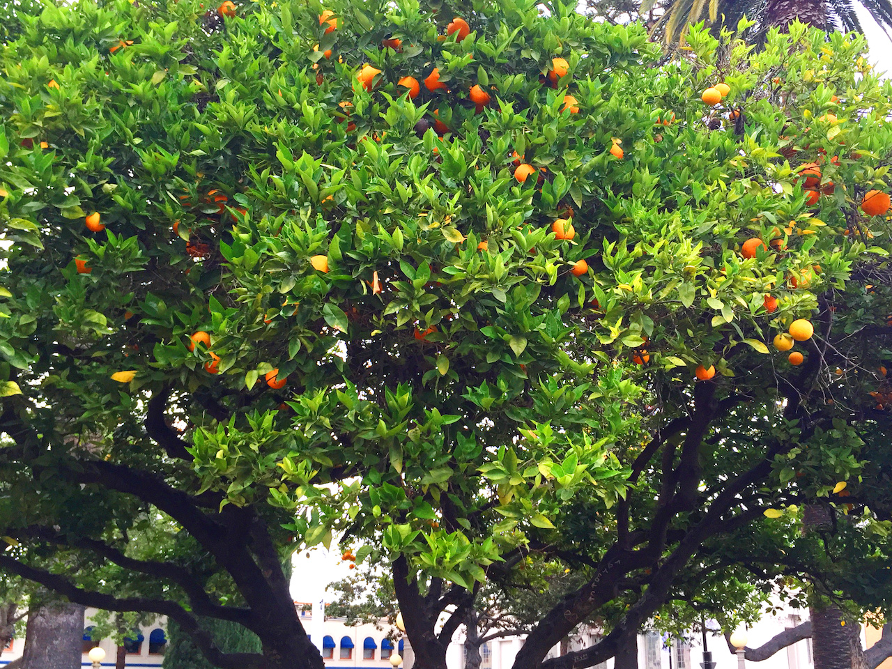 Huge orange trees dot the plaza and Old Towne Orange.