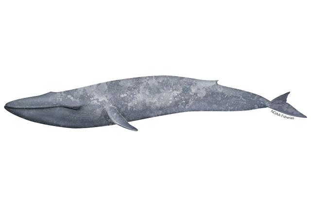 Illustration of blue whale