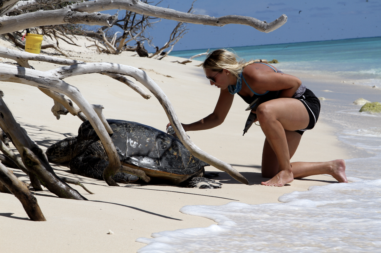 Researcher leans over turtle on beach at Lisianski