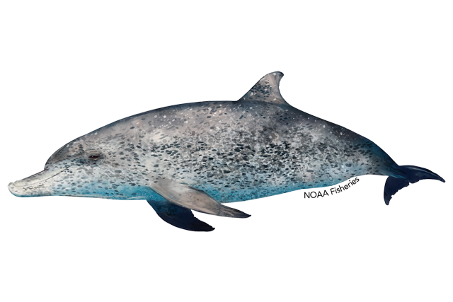 Atlantic spotted dolphin illustration
