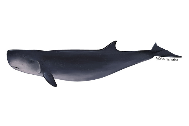 Dwarf sperm whale illustration