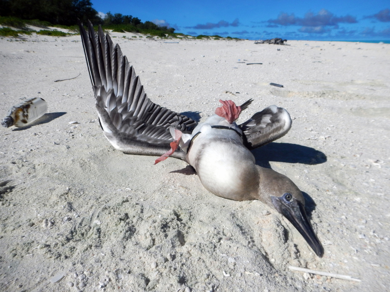 The booby bird found on Midway Atoll with it's wings pinned by a plastic ring from an eel cone trap