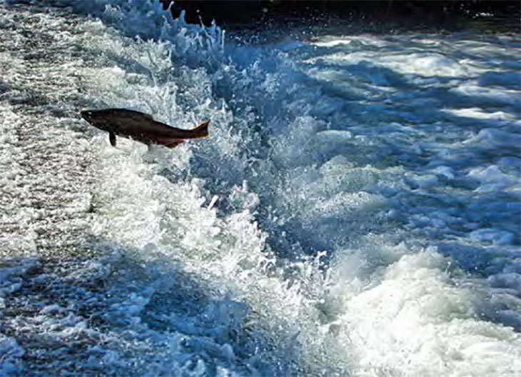 Salmon jumping upstream