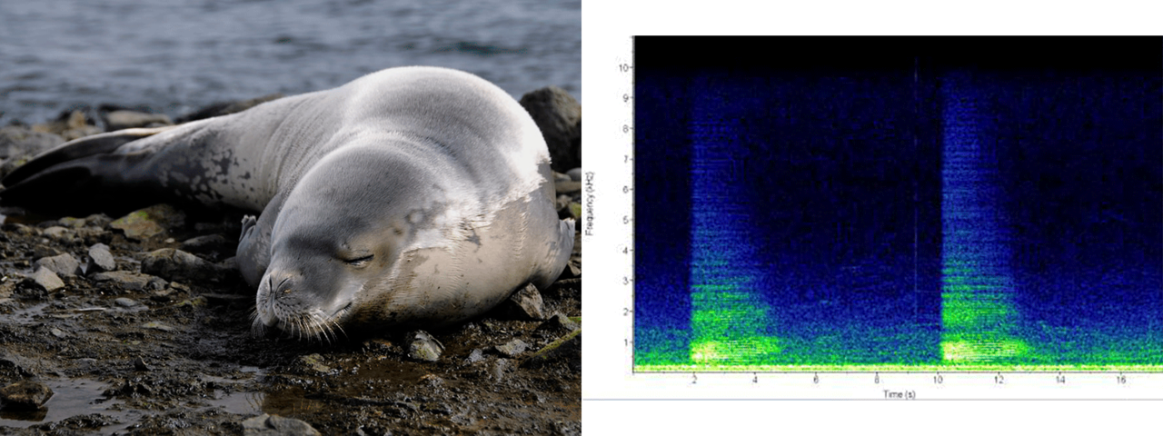 crabeater seal photo and sound chart