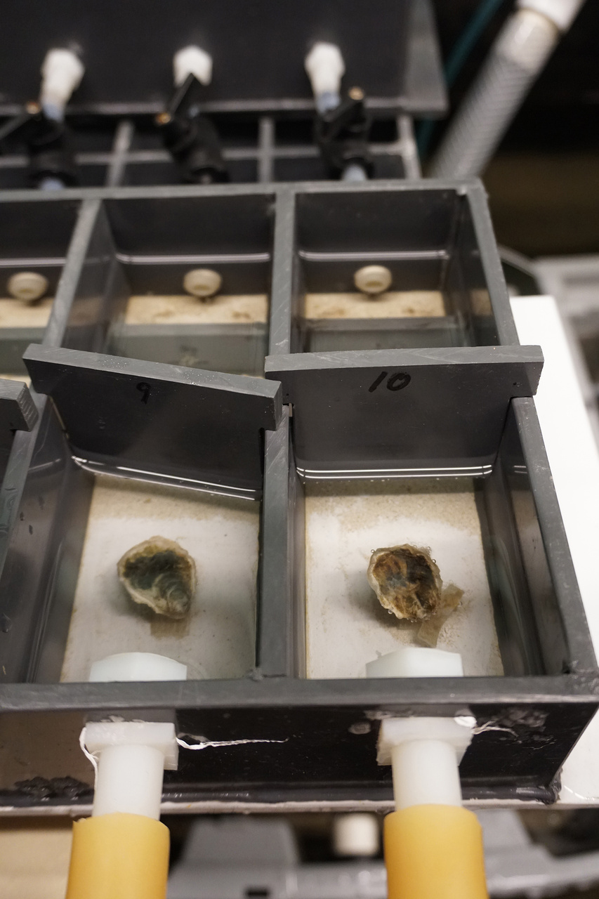 Individual oysters in experimental chambers.