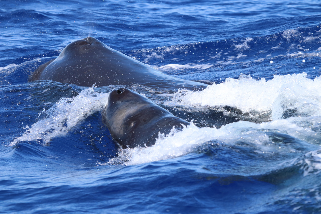 A pair of sperm whales at the surface.