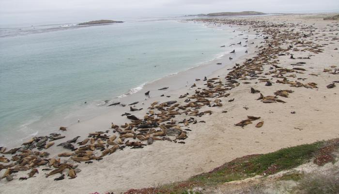 many sea lions along the shore