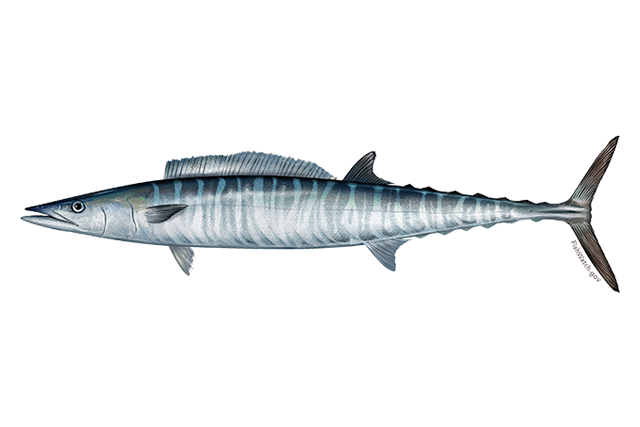 Atlantic wahoo