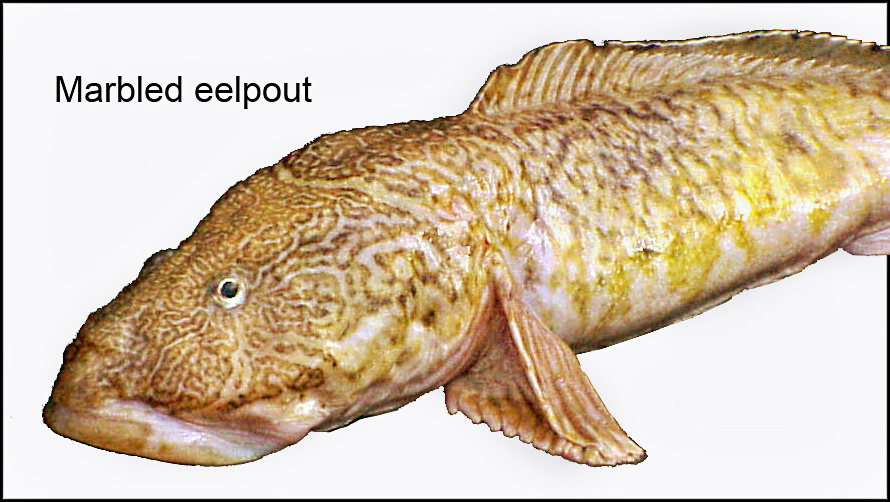 marbled eelpout (Lycodes raridens)