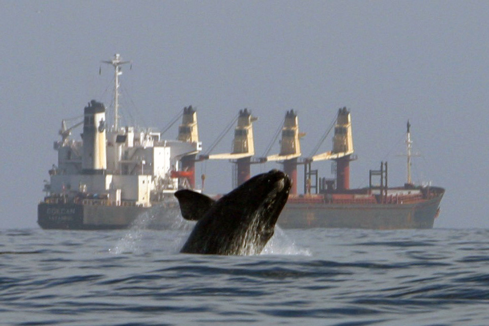 A right whale breaches near a large cargo ship.