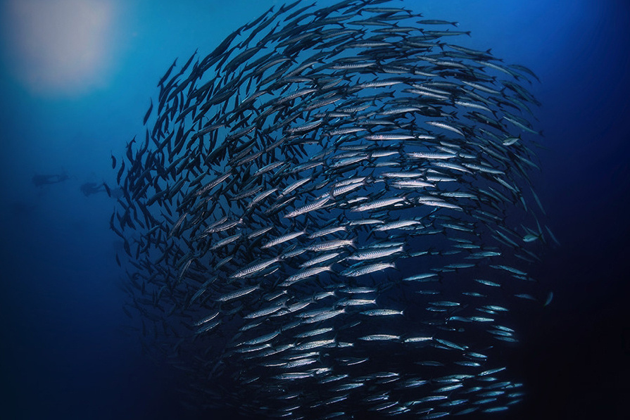School of barracuda.