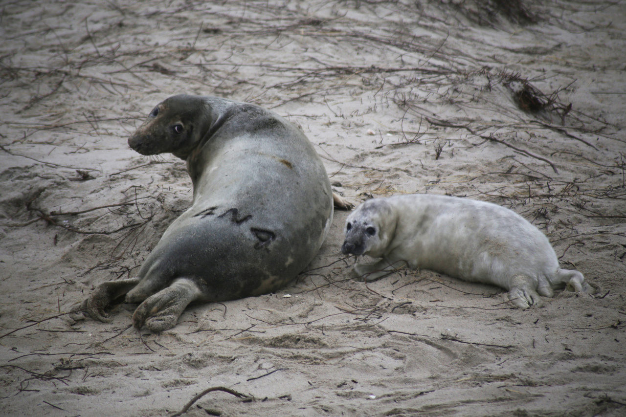 branded seal mom with pup on Muskeget Island