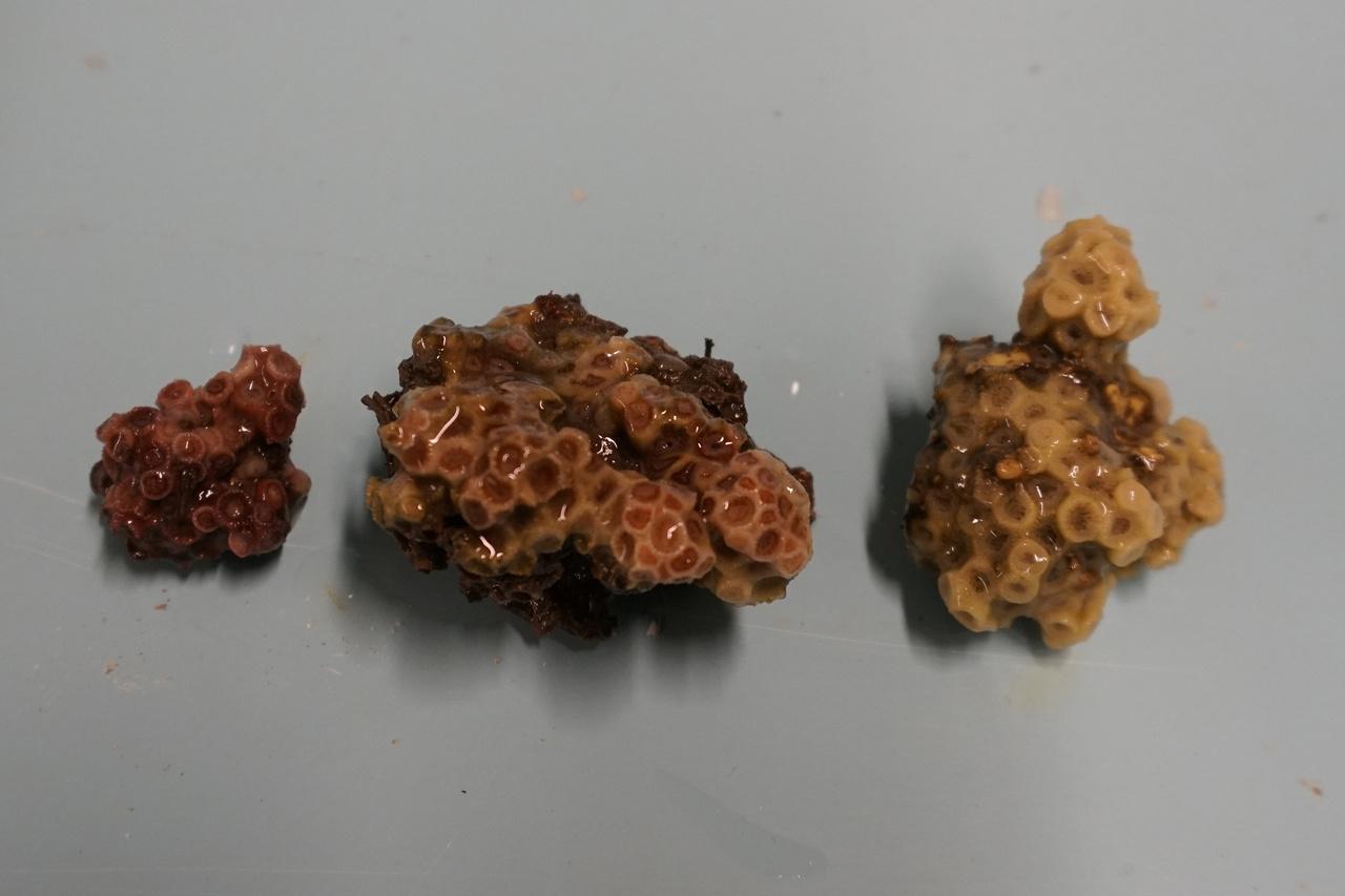 astrangia-poculata-corals-milford-nefsc.jpg