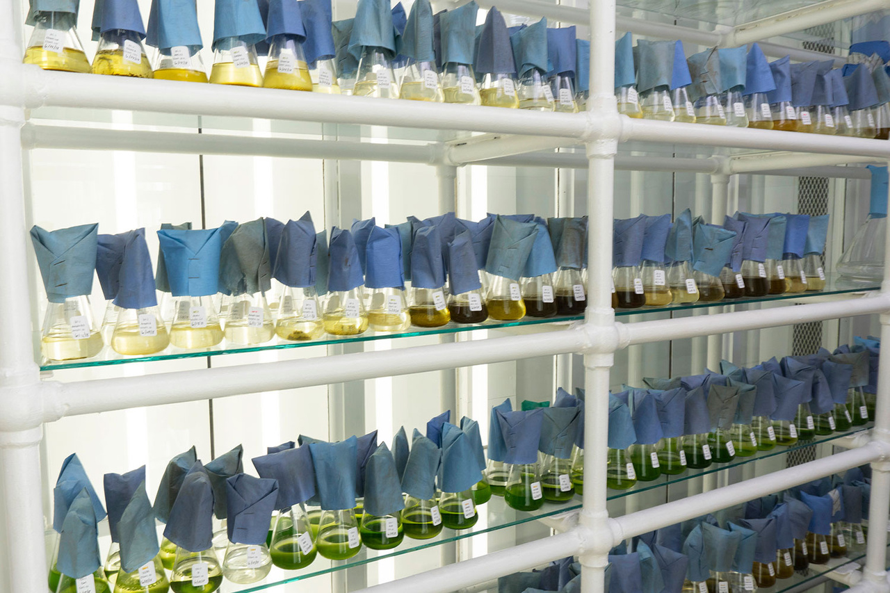 milford-microalgal-culture-collection.jpg