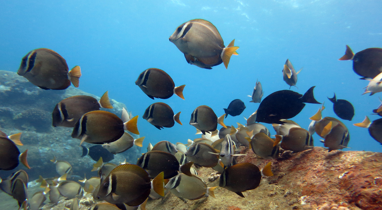 A school of Whitebar surgeonfish (Acanthurus leucopareius) above a reef at Hawaii Island.