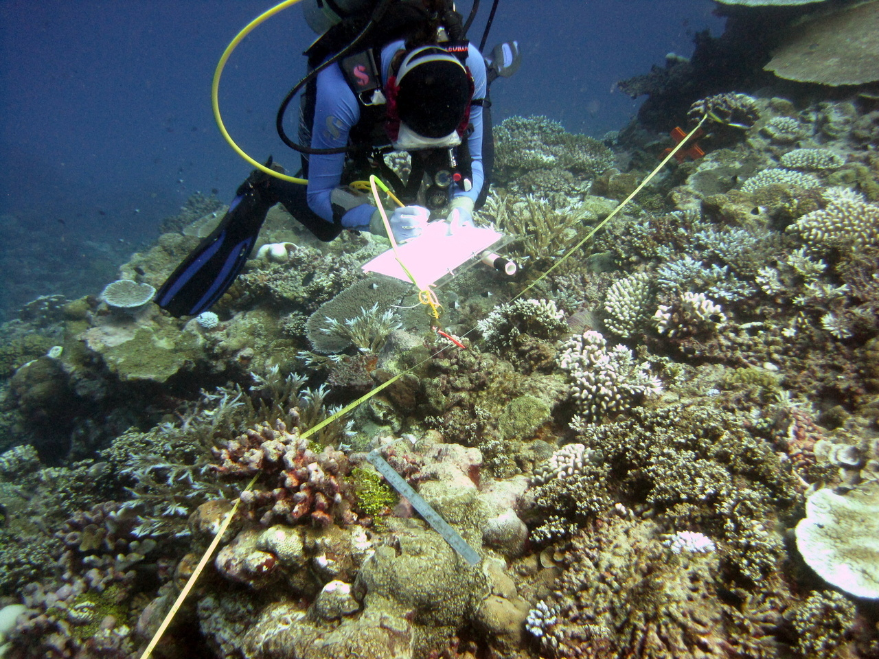 A diver identifies and measures coral colonies along a transect in Tutuila, American Samoa during the 2015 surveys. Photo: NOAA Fisheries.g