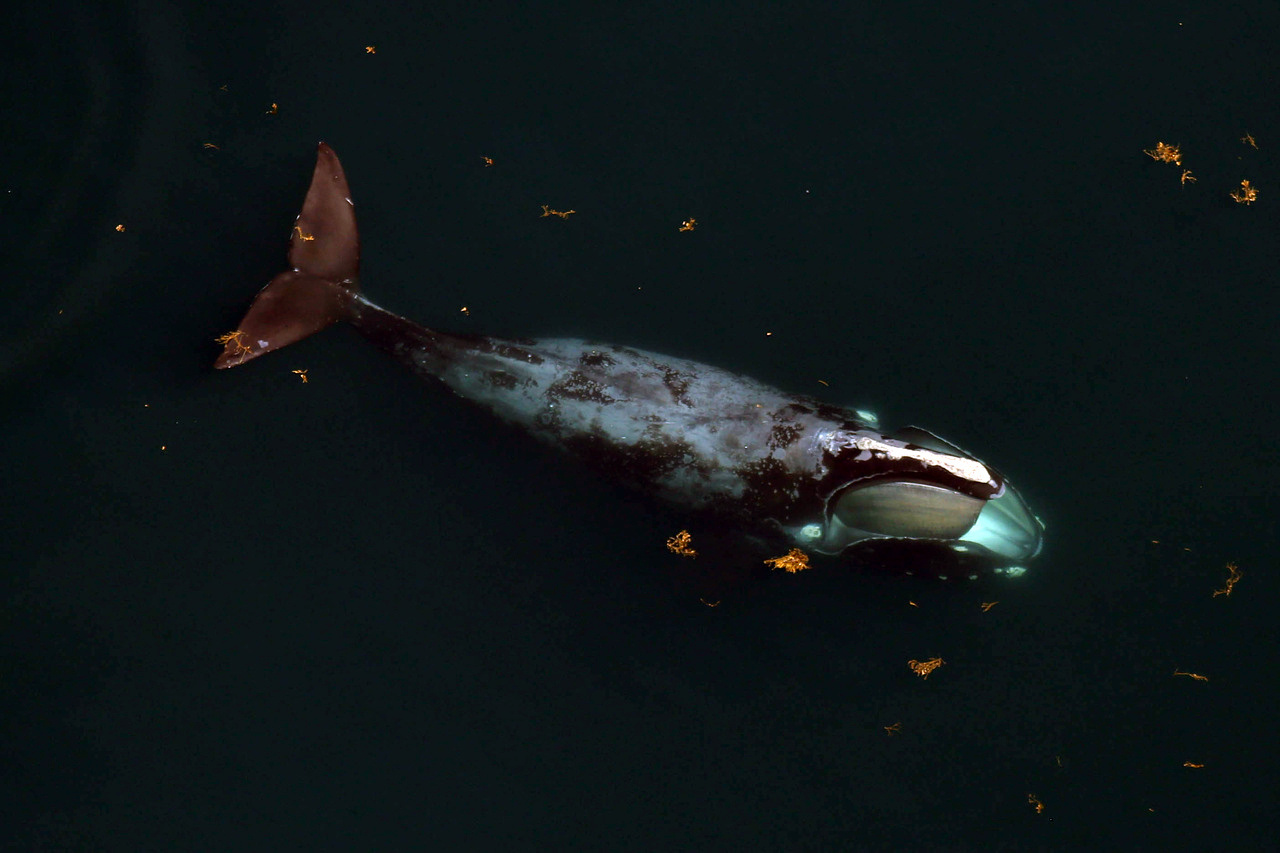 North Atlantic right whale during an aerial survey. Credit: NOAA Fisheries/Northeast Fisheries Science Center.