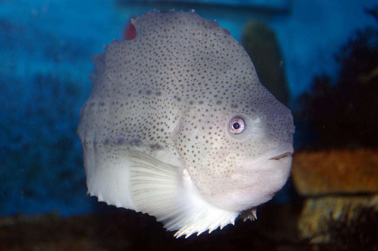 lumpfish swimming in aquarium tank