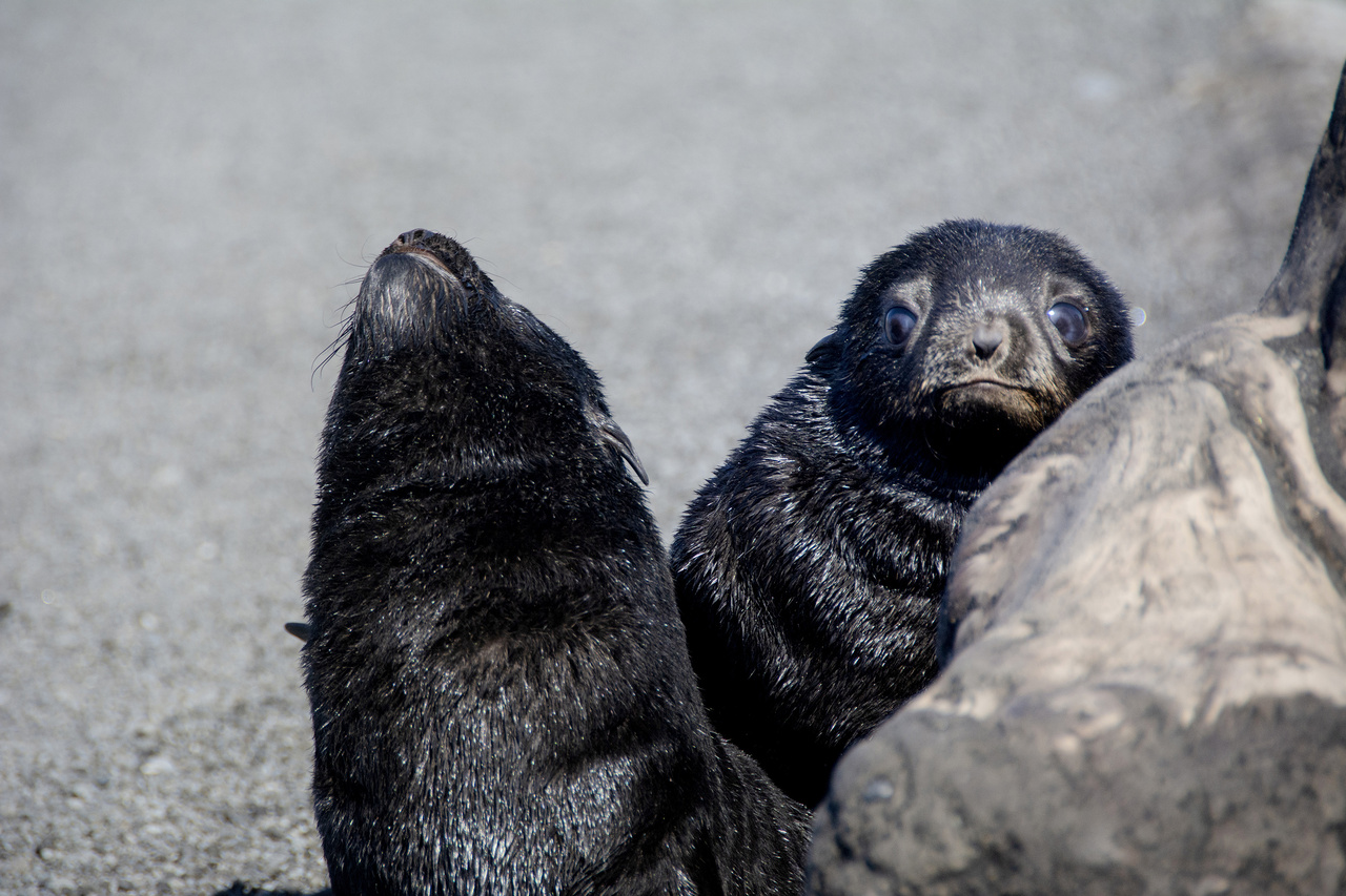 Fur seal pups on Bogoslof Island.