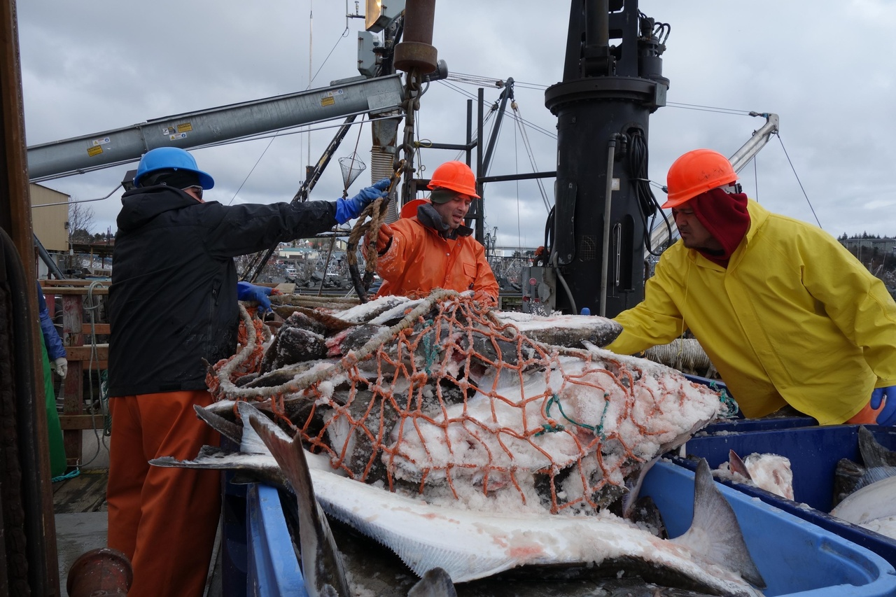 Workers unload halibut.