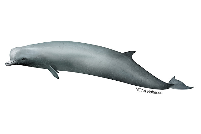 Northern bottlenose whale illustration.