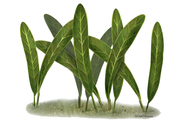 Johnson's seagrass illustration
