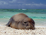 Hawaiian monk seal at French Frigate Shoals.