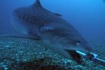 Tiger shark captured on film near Pearl and Hermes Atoll using bait bag and underwater camera rig.