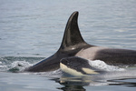 Southern Resident killer whale with calf