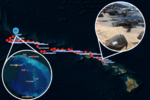 Image of tagged turtle departing Oahu overlaid on map of satellite track from Oahu to French Frigate Shoals.