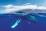 A humpback whale surfaces near the island of Maui