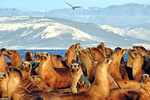 California Sea Lion Population Rebounded, Photo credit: Jeff Harris