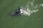 A North Atlantic right whale calf swims with its mother off the coast of Florida. Credit: FWC, under NOAA permit #20556-01.