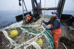Fishermen aboard Miss Sue, of Newport, Oregon, haul in their catch of rockfish off the West Coast