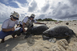 Lindsey Bull and Marylou Staman measure the length of a female green sea turtle