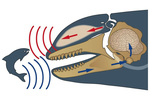 Illustration of killer whale echolocation