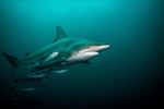 Pelagic blacktip shark in open water. Credit: Getty Images.