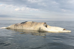 Dead North Atlantic Right whale off the coast of Long Island, New York.