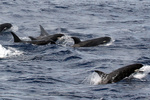 A pod of Type D killer whales off Cape Horn, Chile.