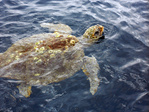 Loggerhead turtle swimming in ocean.