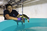 michele sims holds sea turtle above holding pool