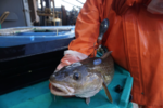 Pacific cod with satellite tag, ready to release.