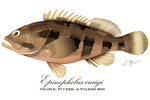 Epinephelus craigi illustration by Emilie Stump.