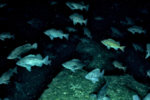 Dusky_and_northern-rockfish_in_GOA.png