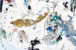 A scribbled filefish, about 50 days old and 2 inches long, surrounded by plastics.