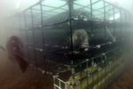 Still from GoPro footage of two fish swimming around and through an aquaculture oyster cage. Credit: NOAA Fisheries.