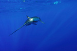 Swordfish swimming alone.
