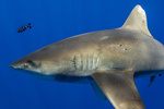 Oceanic whitetip shark.